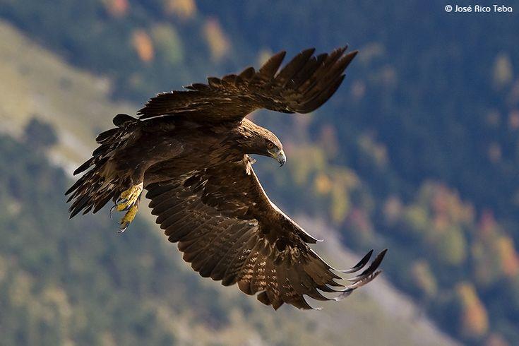 aguila Imágenes del Águila Real para compartir o usar como fondos de pantalla