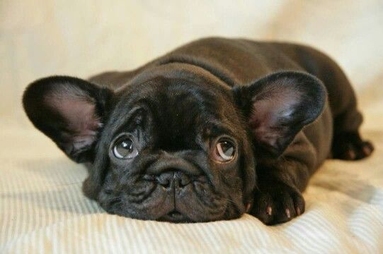 French bulldog puppy