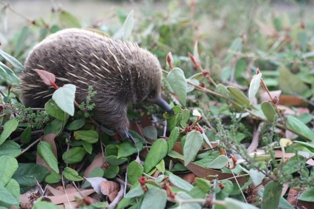 Baby Echidna. What?! Omg, so cute!