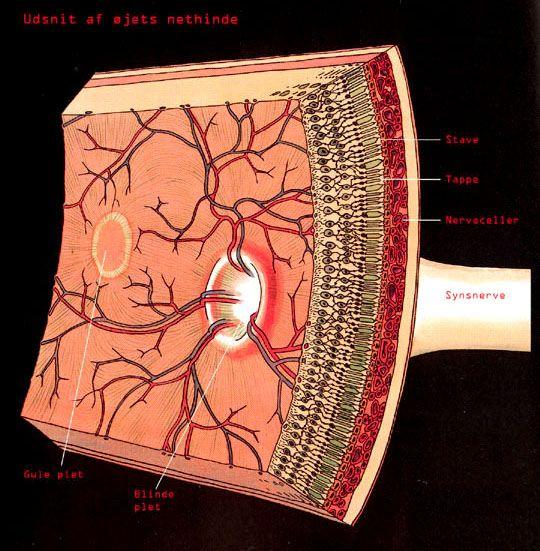 Retina. Anatomy.