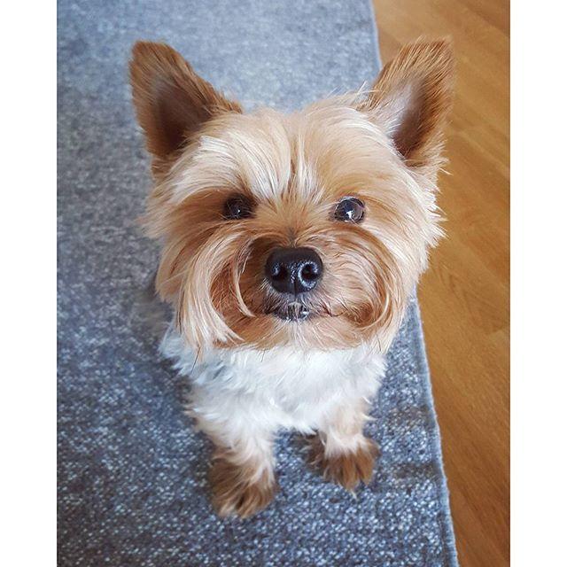 #rufus #yorkie #yorkshireterrier #dog #littledog #instayorkie #yorkiesofinstagram #furball #dogpics #dogphotography #cutie #dogstagram #yorkielove #yorkki #terrier #terrieri #yorkshirenterrieri #cutedog #helsinki #home