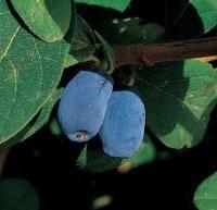 Blue Moon Honeyberry from Stark Bro's