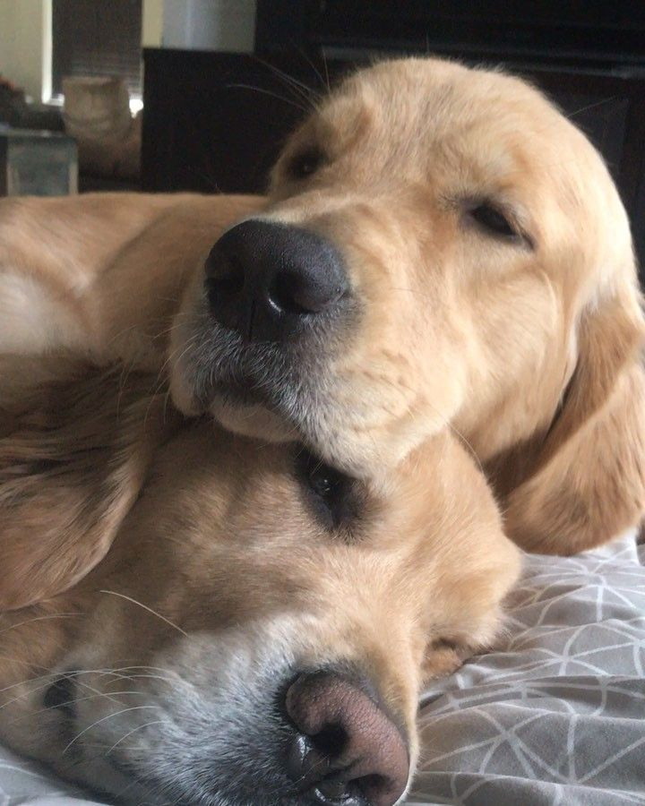Albus Arthur On Instagram Behold The Two Headed Golden Retriever Golden Retriever Dogs Golden Retriever Retriever