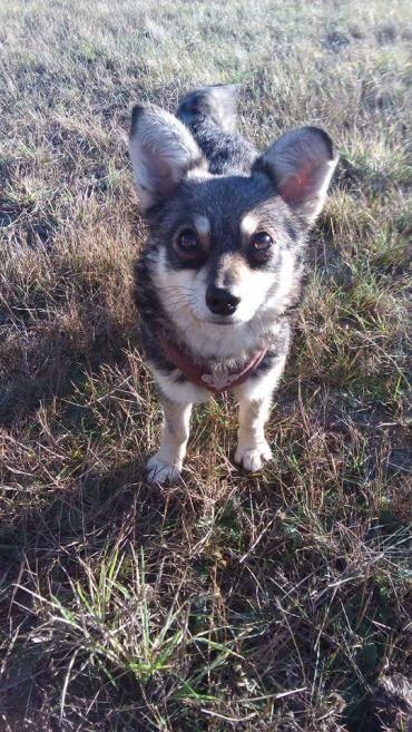 Hund, Mischling klein (Mischling, Hündin, 1 Jahr) in Kremmen/Brandenburg - Zamba sucht ein Zuhause
