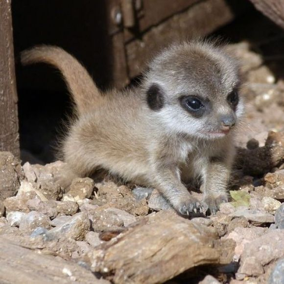 """SThis cute little baby has the Meerkat's """"curiosity"""" trait in its eyes. Did you see, David Attenborough's 'Meerkat Documentaries'? Its enduring human-like drama is something you'll not forget!  Meerkats are desert creatures, found in Botswana, southwestern Angola, and South Africa. They live in clan colonies, that can grow as large as 50 members! Their homes are burrows underground, which they leave only in the daytime to forage for food."""