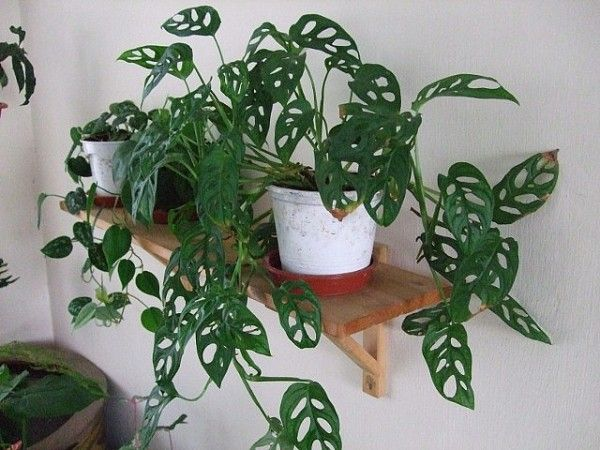 """Monstera Obliqua """"Swiss Cheese Vine"""" easy to grow in bright indirect light and good soil. Can be allowed to trail like this, or grown up on a post or trellis. Leaves get bigger as it ages."""