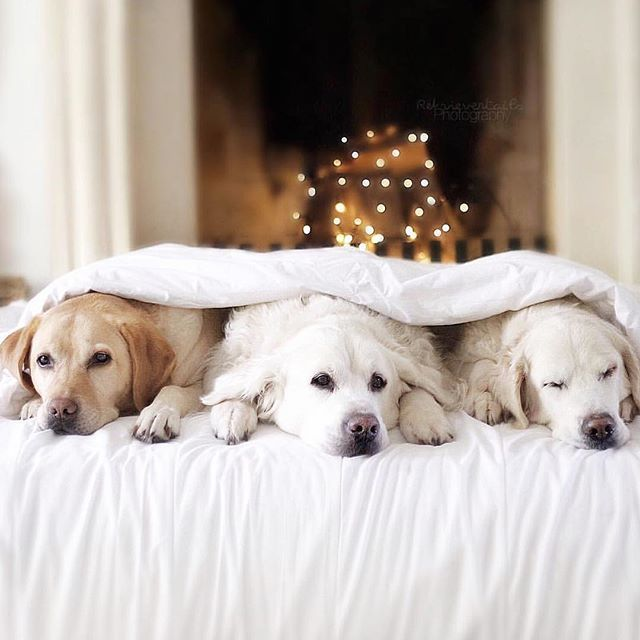 Sweet photo of our good friends Sienna, Max and new member, sweet Molly from @retrievertails. We love these three lovely pups. Take a look at this beautiful babies gallery, you will love it. • Credit @retrievertails •