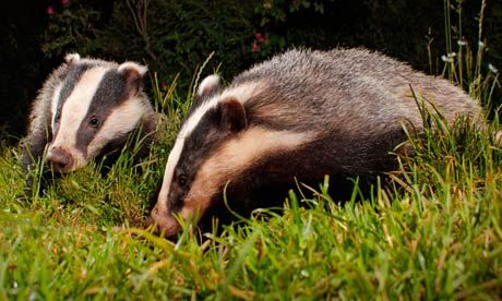 Badger cull is right thing to do, says David Cameron
