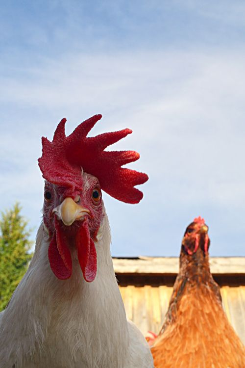 rooster and hen mimic 'American Gothic' painting XD
