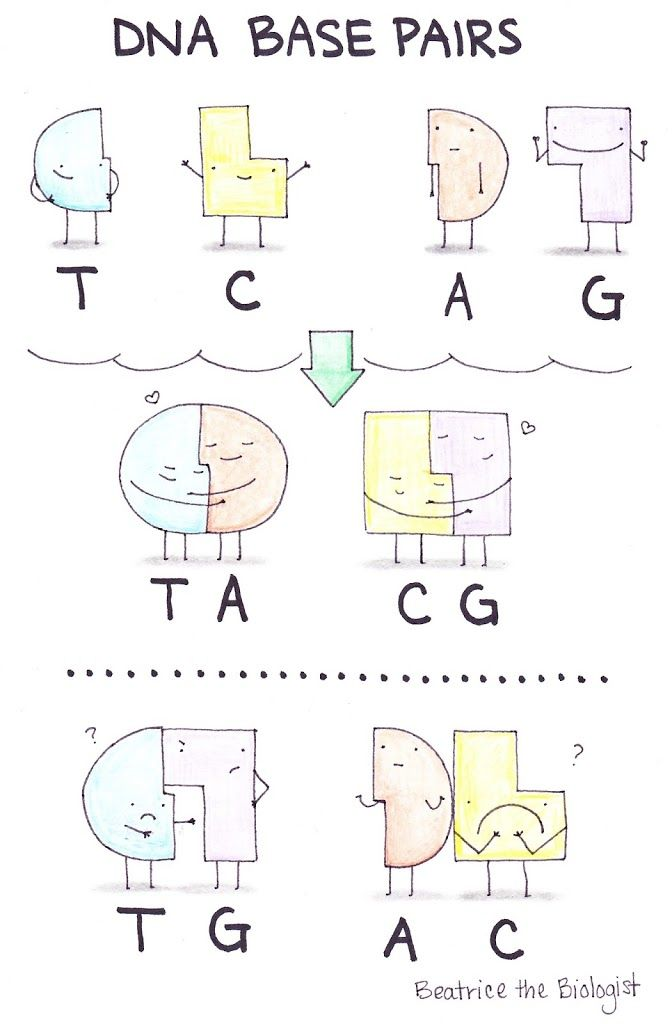 DNA Base Pairs - Beatrice the Biologist