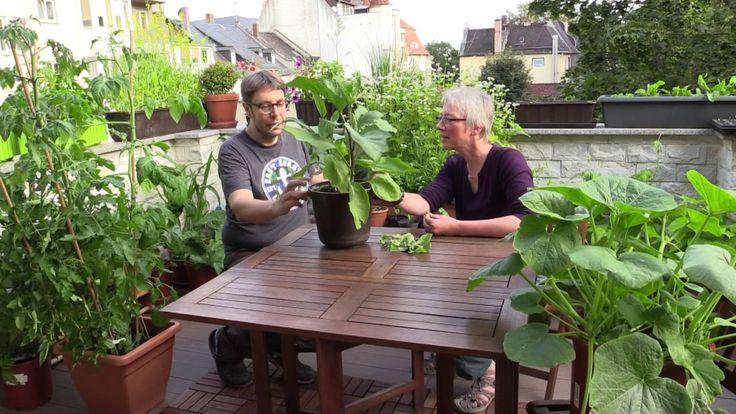 Balkongespräche: Fruchtgemüse auf dem Balkongarten Wie geht das mit der Anzucht von Fruchtgemüse auf dem Balkon? Was Balkongärtner gerne falsch machen und wie man sich gut stellt mit den Nützlingen. https://youtu.be/g99KgNlHANg  Wir freuen uns über Antworten, Hinweise zu unseren Fehlern und Anregungen für eine erfolgreiche Fruchtgemüse-Balkonernte (hier oder auf YouTube).  #bio #Gemüse #Balkon #Fruchtgemüse #Tomate #Gurke #Aubergine #Kürbis