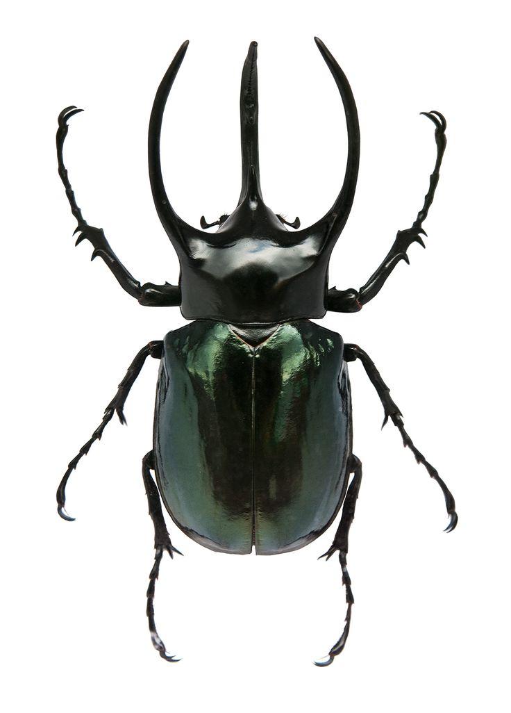 Giant Atlas Beetle 8 best Butterfly wings...