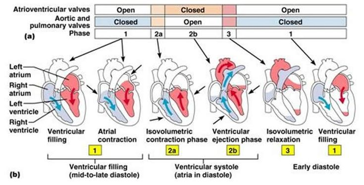 Systole is the contractile phase of the cardiac cycle and diastole is the relaxation phase of the cardiac cycle. Cardiac Cycle Ventricular filling: Mid-to-late ventricular diastole (includes atrial systole, P-Q interval) Ventricular systole: isovolumetric contraction and ejection phase (Q-T interval) Quiescent phase: isovolumetric relaxation in early ventricular diastole until atrial contraction (end of T wave … Continue reading The Cardiac Cycle for NCLEX