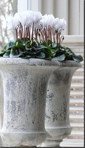 The white cyclamen is a stunning, sophisticated en masse selection for the Holidays. Check more beautiful pottery and garden products at www.jacksonpottery.com