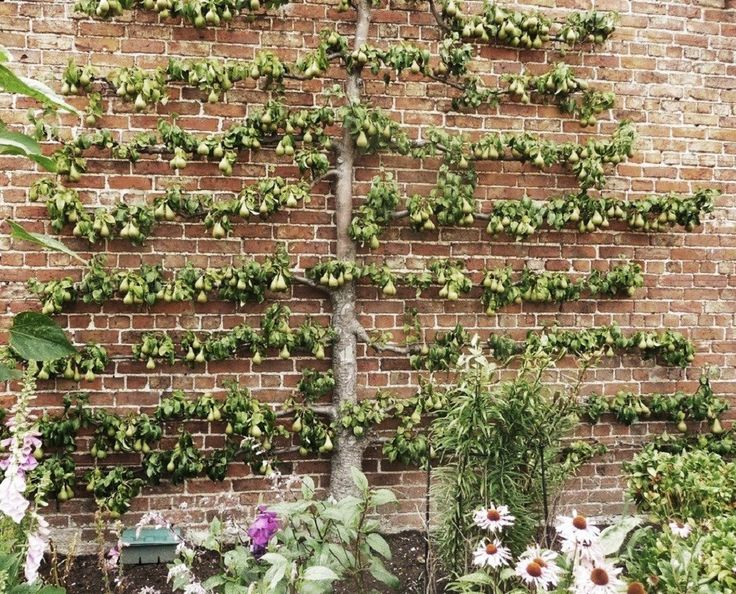 Prepossessing  Best Images About Pergolas And Climbers Espalier On  With Exquisite Early American Gardens Early American Espalier  Wall Trees With Comely Glasgow Garden Sheds Also Night In The Garden In Addition Bistro Garden Furniture Set And  Door Garden Sheds As Well As Garden Centre Syon Park Additionally The Winter Garden From Pinterestcom With   Exquisite  Best Images About Pergolas And Climbers Espalier On  With Comely Early American Gardens Early American Espalier  Wall Trees And Prepossessing Glasgow Garden Sheds Also Night In The Garden In Addition Bistro Garden Furniture Set From Pinterestcom