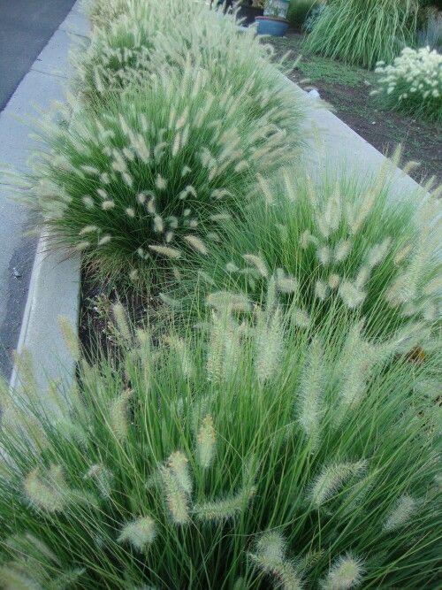 Pennisetum alopecuroides Little Bunny, náročnější na propustnost a živiny. Nízký kultivar cca 30 cm.