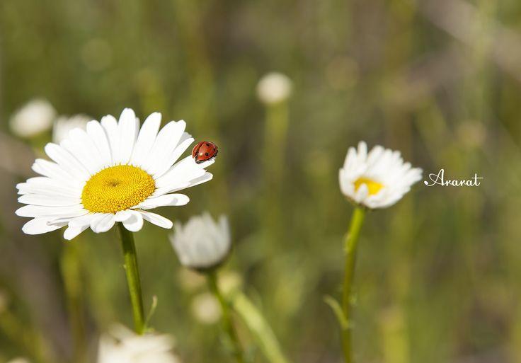 Ladybug with chamomile...Spring