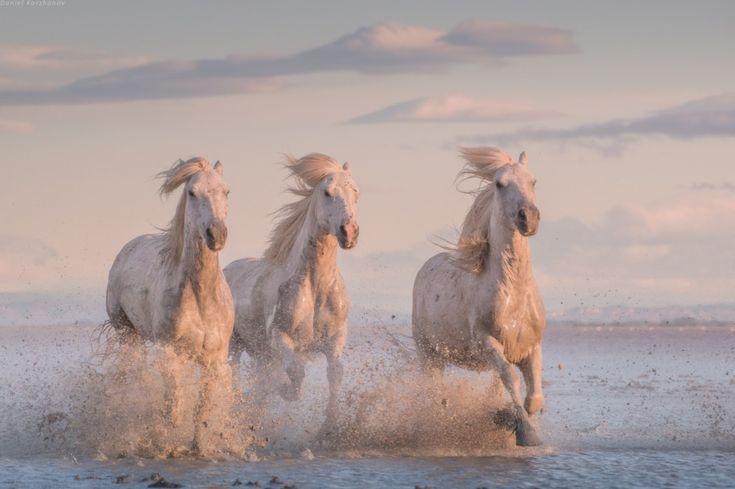 Camargue horses – 2014 | Daniel Kordan