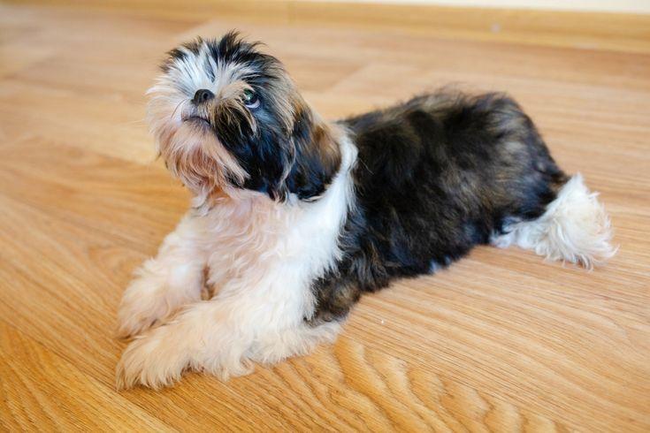 Beautiful shih tzu dog asking for food at home. – Shih Tzu Dog food