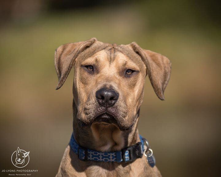 His name is Alfie and he could be yours... he is available to adopt now from Sydney Animal Second-chance Inc. rescue and he is an absolute babe <3