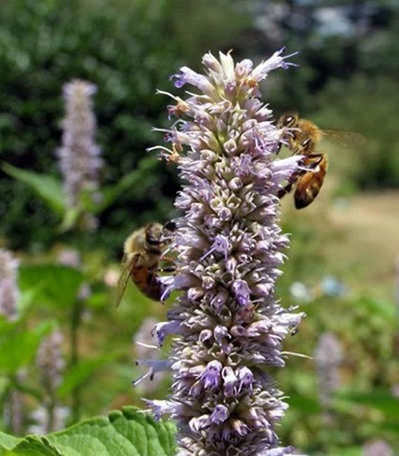 over 100 Seeds Agastache foeniculum bees di HoneyTreeandBehind
