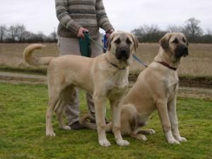 The Anatolian Shepherd is a flock guardian with a superior sense of sight and hearing. It is not a herding dog. It is very loyal, alert and capable of great speed and endurance. It is intelligent, alert and easy to train, but is not a dog for beginners.   #anatolianshepherddogs