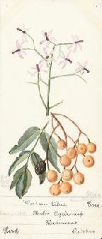 BA2526/6 : Albert John Hall collection of wildflower paintings, page from album, 1908-1930. http://encore.slwa.wa.gov.au/iii/encore/record/C__Rb3095983__Sba2526__Orightresult__U__X3?lang=eng&suite=def
