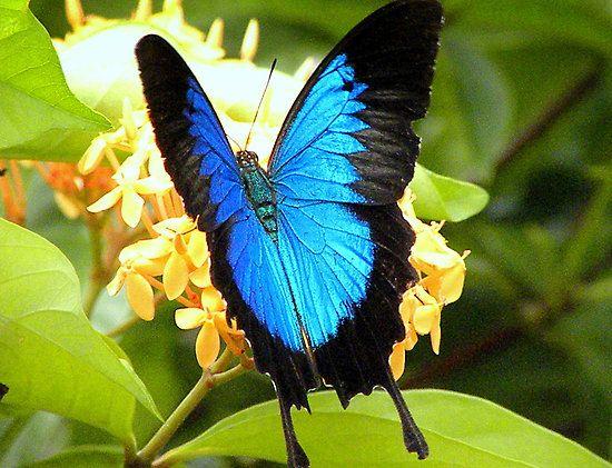 Ulysses Butterfly 23 best blue ul...