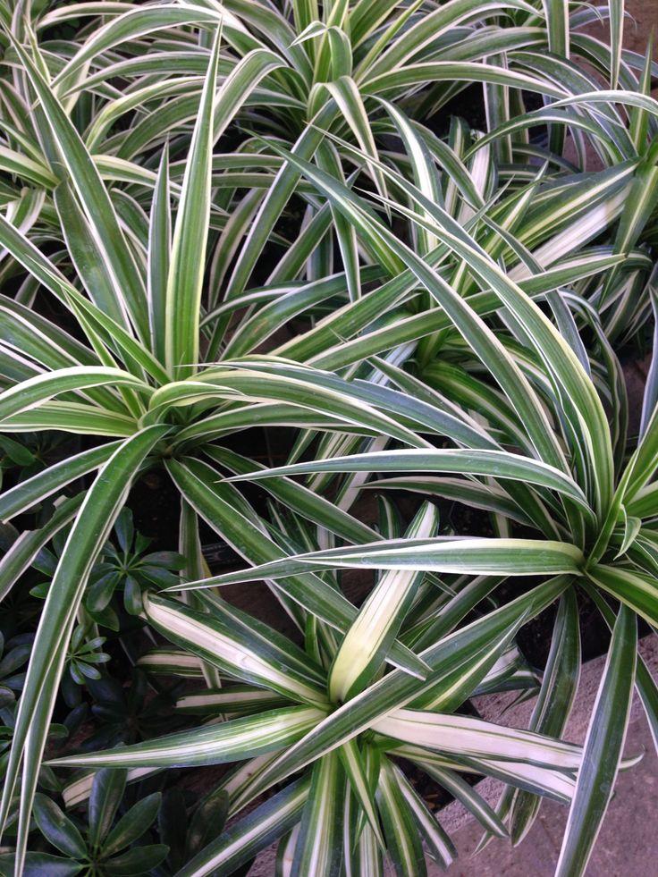 17 best images about lazo de amor cultivo on pinterest - Cuidado de plantas de interior ...