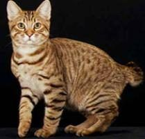 American Bobtail Cat While the couple is too developing, breeders urge that Bobtails are humorous, limber, and good, and absorb an uncanny breath of life for Houdini-type escapes from competent rooms and fast cages http://www.petanimalsfamily.com/american