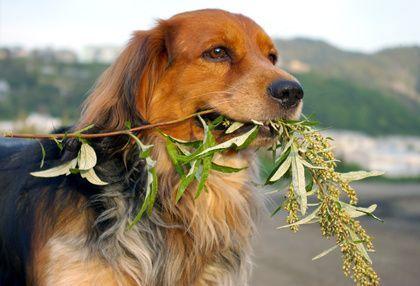 Allergia o intolleranza alimentare nel cane, come intervenire In questo articolo affrontiamo il problema dell'allergia alimentare e dell'intolleranza alimentare nel cane. Purtroppo molto diffuse vedremo come riconoscerle e come intervenire tramite un cambio di #cane #allergia #intolleranzaalimentare