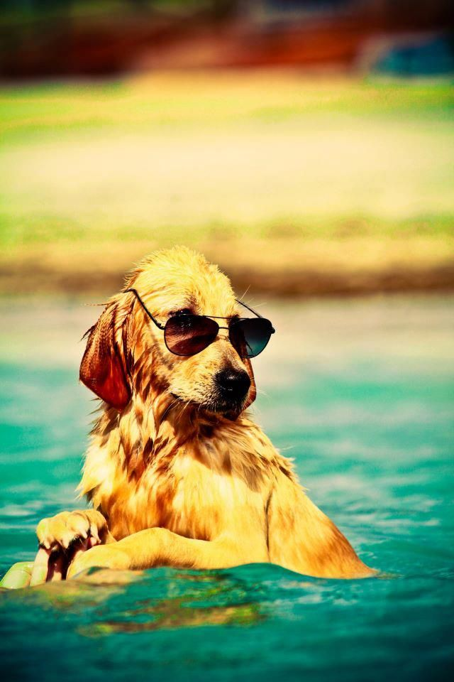 the coolest dog aroundPuppies, Dogs Day, Summer Beach, At The Beach, Dogs Photos, Beach Lifestyle, Happy Dogs, Animal, Golden Retriever