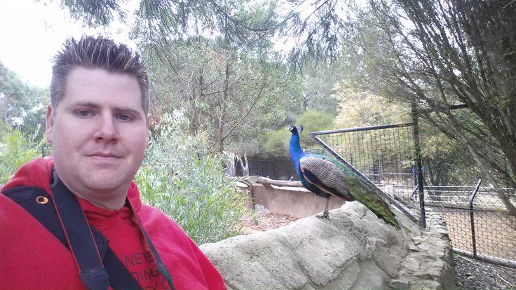 Animal Encounter - Peacock