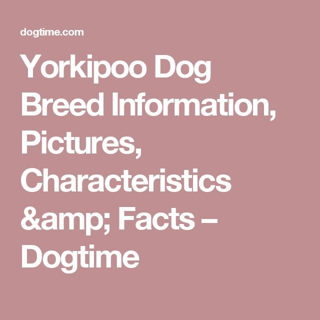Yorkipoo Dog Breed Information, Pictures, Characteristics & Facts – Dogtime