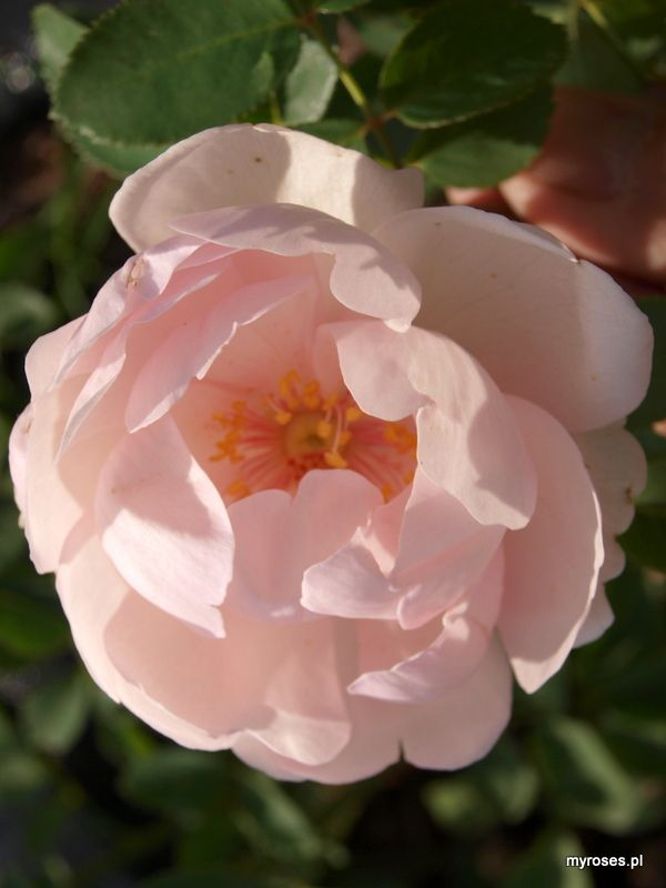 Seedling ['Carefree Beauty' x ('Rose de Resth' x 'Alexander MacKenzie')]