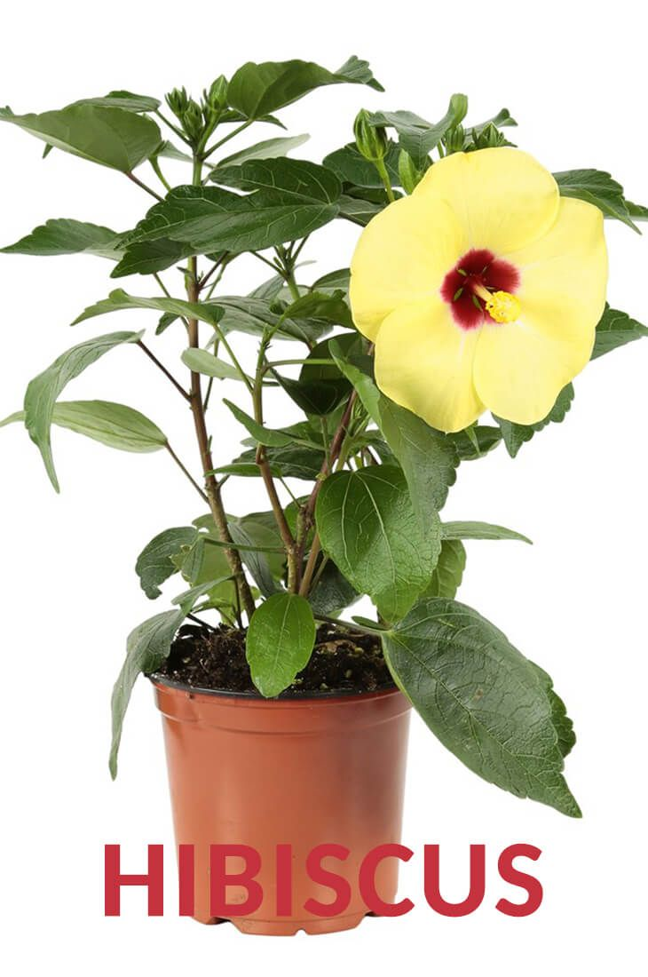 The Best Ways To Grow Care And Utilize Hibiscus Plants Hibiscus