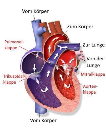 Das Herz-Kreislaufsystem versorgt Organe und Gewebe mit ausreichend Sauerstoff und entfernt Abfallstoffe wie Kohlendioxid.