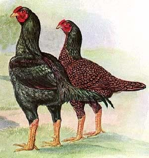 Poultry Breeds - Partridge Cochin Chickens — Breeds of Livestock, Department of Animal Science
