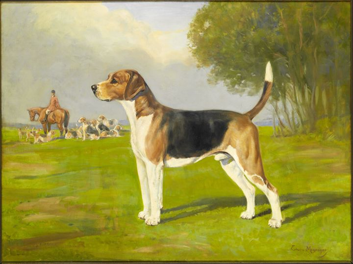 Beagle, Harrier, Foxhound: The Same But Different - American Kennel Club