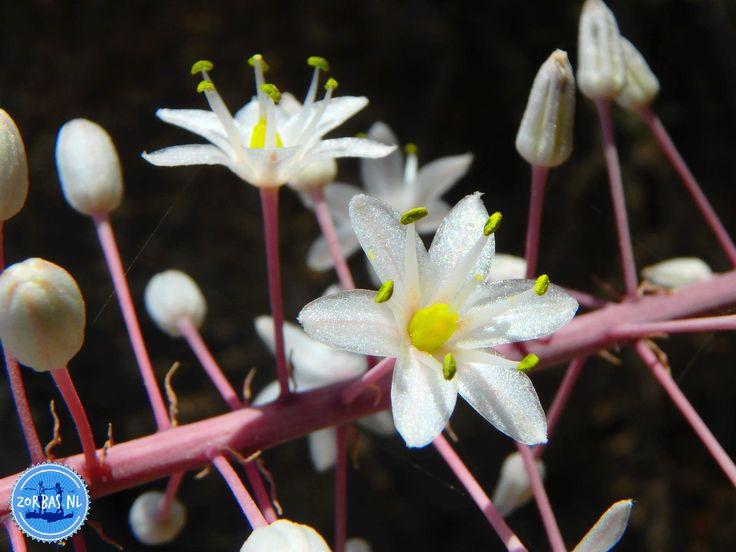 Bloemenwandelingen in Griekenland: Ieder jaar organiseren we voor de liefhebbers bloemenwandelingen in Griekenland. Er groeien in Griekenland meer dan 6.000 verschillende soorten bloemen en planten. Enkelen daarvan zijn inheems en uniek in Griekenland en de wereld. Griekenland heeft vele gezichten dankzij de veelzijdige natuur en Kreta is daar geen uitzondering op. Het Griekse eiland Kreta