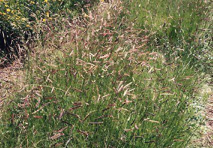 Bouteloua hirsuta. Hairy Grama. Native, warm season grass. Not as full looking as B. gracilis, but more interesting seedheads. Unusual. Full sun/part shade. Moderate grower.