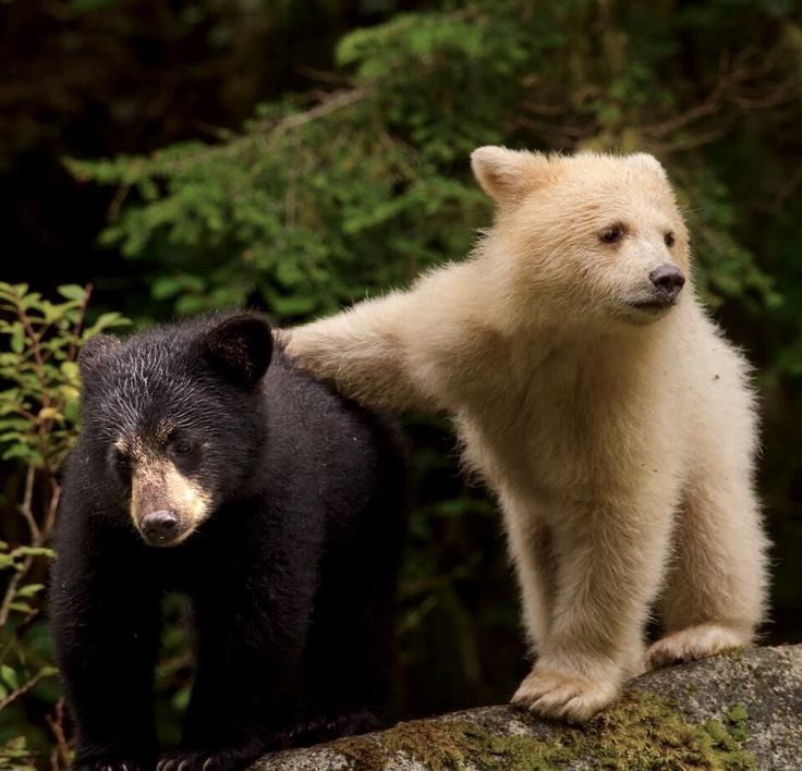 Bears, the left one is a Spirit Bear ... both beautiful!                                                                                                                                                                                 More