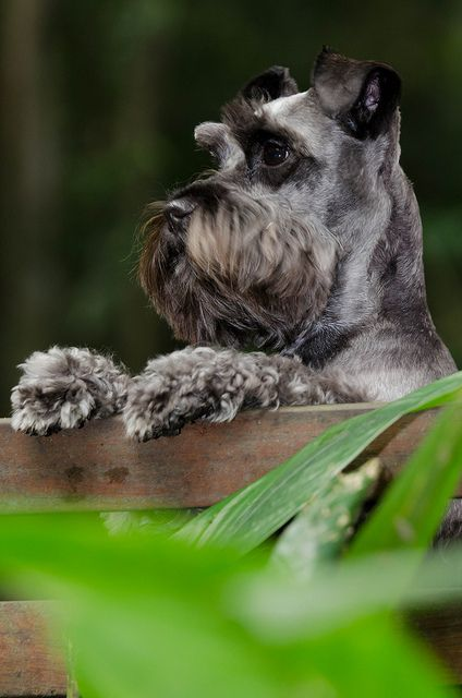 My Dog Mini Schnauzer by Fabio