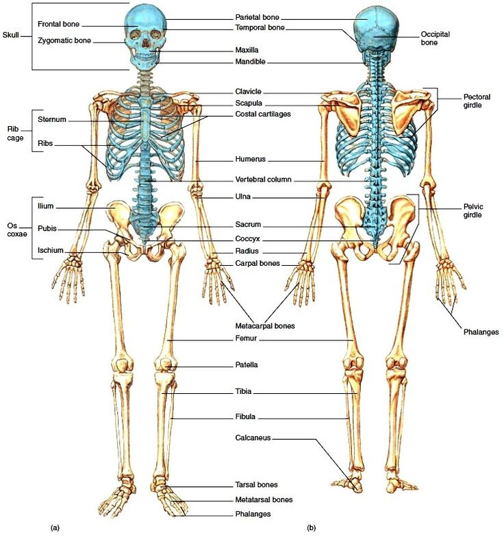 55 best images about human anatomy on pinterest | muscle tissue, Skeleton
