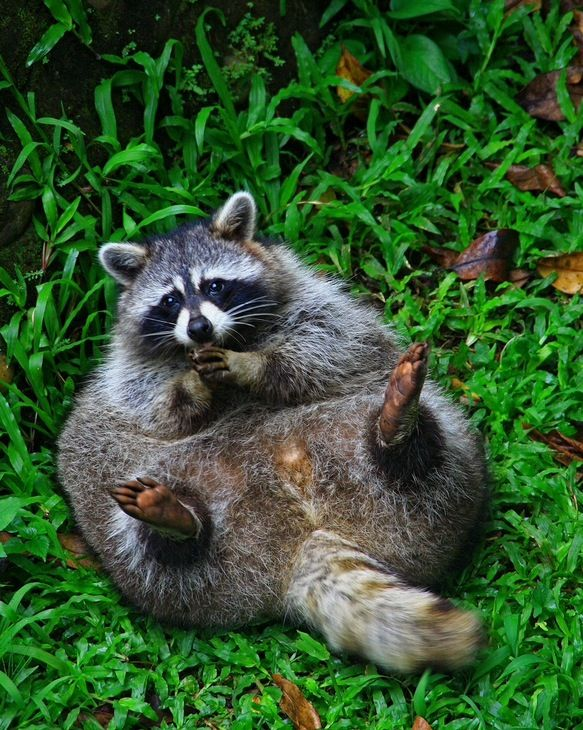 good grief, what a pudge! must be some rich garbage (or cat food) ALWAYS plentiful!  this is no country coon, that's for sure.