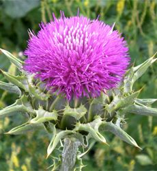 Awesome! Healthy living with milk thistle dosage >> milk thistle dosage --> www.milkthistledosage.net
