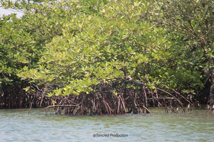 It has a prominent presentation in the latest report by the Intergovernmental Panel on Climate Change with picture of mangrove restoration on its front page, which illustrates its importance in recent climate change efforts.