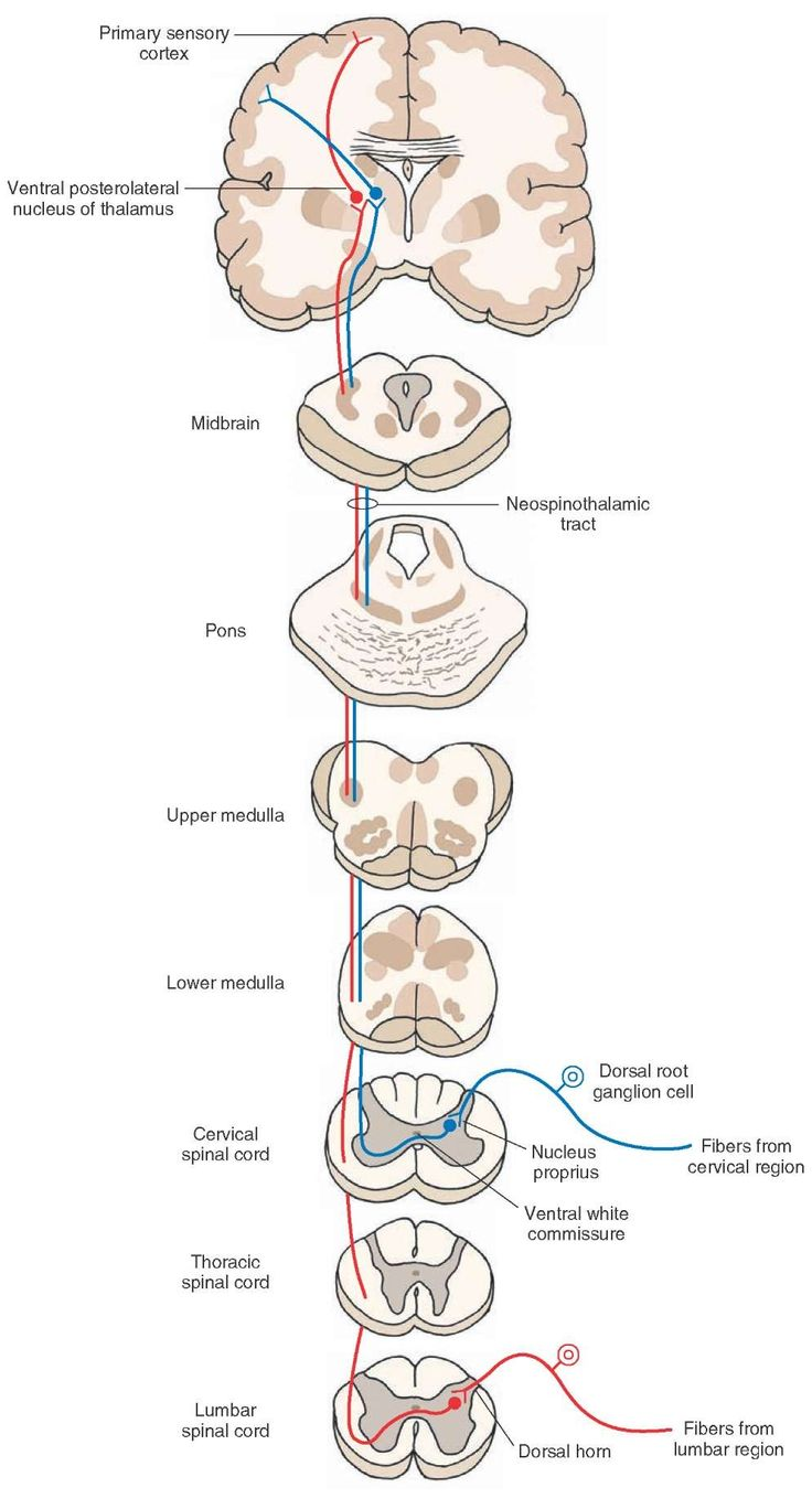 Direct spinothalamic pathway: the neospinothalamic tract. The peripheral processes of these dorsal root ganglion cells end as receptors sensing pain, temperature, and simple tactile sensations. The central processes of these dorsal root ganglion cells synapse with the neurons of the nucleus proprius. The axons of these second-order neurons cross via the anterior white commissure, enter the contralateral white matter, ascend in the lateral funiculus, and synapse on third-order neurons located…