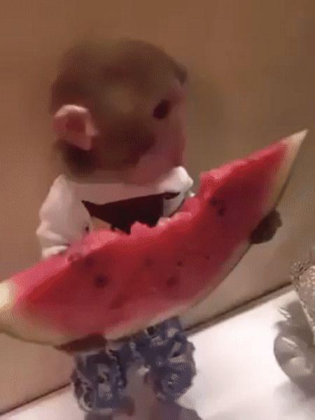 monkey eating watermelon on @gfycat #cuteness #pets # ...