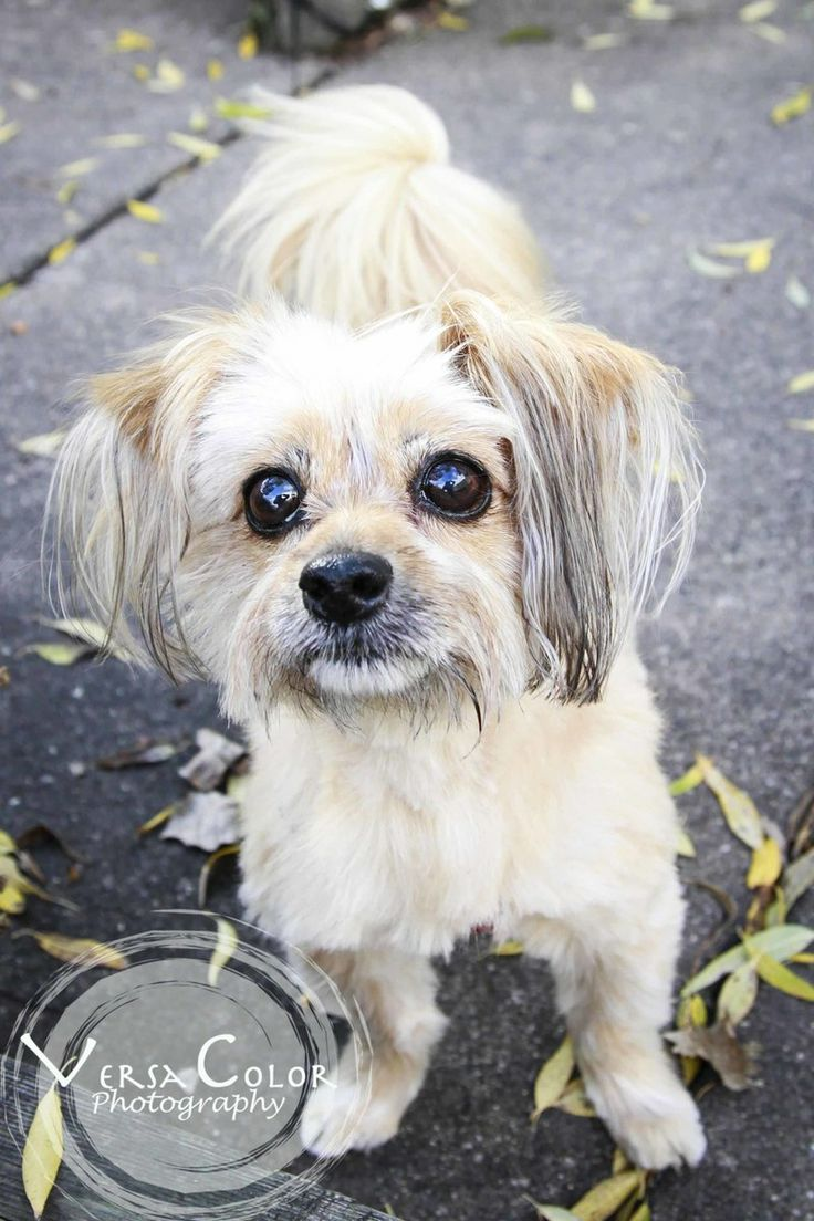 Phoebe, well trained, Pom/Yorkie terrier mix, 7 years old, Underdog Rescue, St. Louis Park